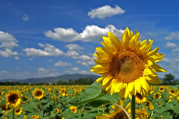 Sunflower-Seeds